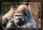 Gorilla - Loro Parque Tenerife