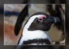 Brillenpinguin - Boulders Beach - South Africa