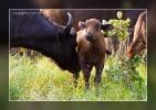Afrikanischer Büffel - Timbavati Game Reserve - South Africa