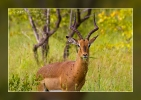 Impala - Timbavati Game Reserve - South Africa