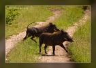 Warzenschweine - Timbavati Game Reserve - South Africa